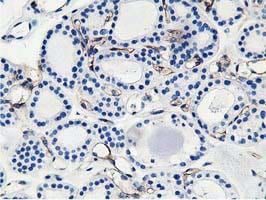 Immunohistochemistry (Formalin/PFA-fixed paraffin-embedded sections) - Anti-Adiponectin antibody [1B2] (ab113943)