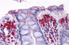 Immunohistochemistry (Formalin/PFA-fixed paraffin-embedded sections) - Anti-PRODH antibody (ab113958)