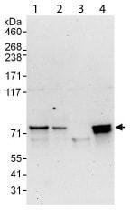 Western blot - C14orf169 / NO66 antibody (ab113975)