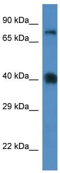 Western blot - SLC7A3 antibody (ab113985)