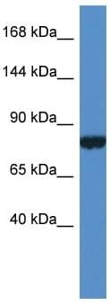 Western blot - PDK2L1 antibody (ab113987)
