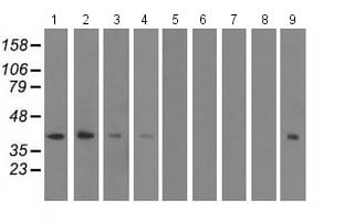 Western blot - Anti-SH3 containing Grb 2 like 1 protein antibody [2F5] (ab114012)