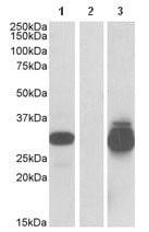 Western blot - Anti-PPPDE1 antibody (ab114053)