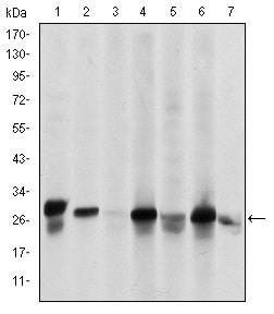Western blot - Anti-Hsp27 antibody [5D7] (ab114067)