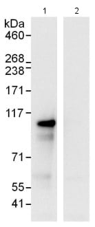 Immunoprecipitation - Anti-SIX homeobox 4 antibody (ab114125)