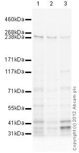 Western blot - Anti-MDC1 antibody (ab114143)