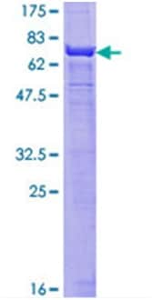 SDS-PAGE - alpha smooth muscle Actin protein (ab114148)