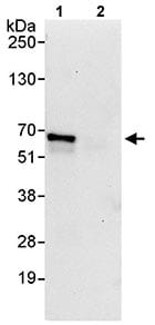 Immunoprecipitation - Anti-Zinc finger protein 639 antibody (ab114971)