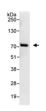 Immunoprecipitation - Anti-TUG antibody (ab114980)