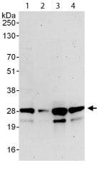 Western blot - Anti-mtTFA antibody (ab114993)