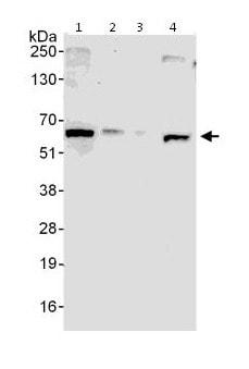 Western blot - Anti-DDX56 antibody (ab115178)