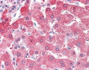 Immunohistochemistry (Formalin/PFA-fixed paraffin-embedded sections) - Anti-ALDH2 antibody (ab115198)