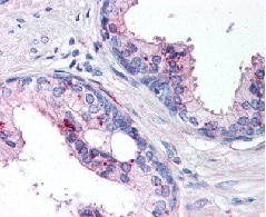 Immunohistochemistry (Formalin/PFA-fixed paraffin-embedded sections) - Anti-IL24 antibody (ab115207)