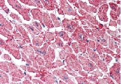 Immunohistochemistry (Formalin/PFA-fixed paraffin-embedded sections) - Anti-KPNA3 antibody (ab115209)