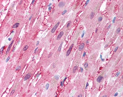 Immunohistochemistry (Formalin/PFA-fixed paraffin-embedded sections) - Anti-BANF1 antibody (ab115226)