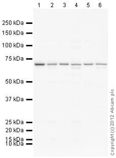 Western blot - Anti-TBX18 antibody (ab115262)