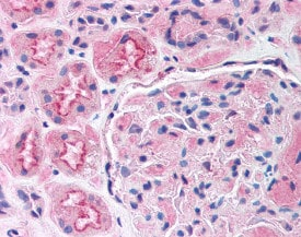 Immunohistochemistry (Formalin/PFA-fixed paraffin-embedded sections) - Anti-Lrp2 / Megalin antibody (ab115316)