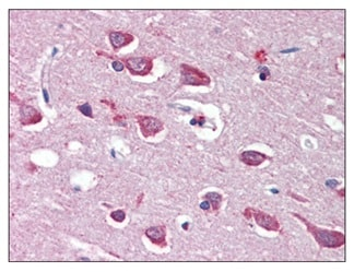 Immunohistochemistry (Formalin/PFA-fixed paraffin-embedded sections) - Anti-Ionotropic Glutamate receptor 4 antibody (ab115322)