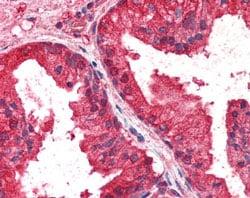 Immunohistochemistry (Formalin/PFA-fixed paraffin-embedded sections) - Anti-AIBZIP antibody (ab115466)