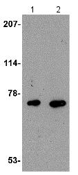 Western blot - Anti-AIFM3 antibody (ab115478)