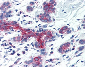 Immunohistochemistry (Formalin/PFA-fixed paraffin-embedded sections) - Anti-AIFM3 antibody (ab115478)