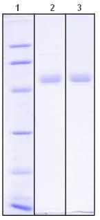 SDS-PAGE - LRG1 protein (ab115506)