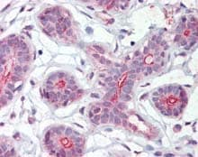 Immunohistochemistry (Formalin/PFA-fixed paraffin-embedded sections) - Anti-DAP Kinase 2 antibody (ab115538)