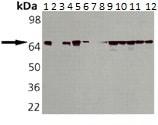 Western blot - Anti-Hsp70 antibody [C96F3-3] (ab115651)
