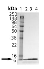 SDS-PAGE - Thioredoxin / TRX protein (ab115709)