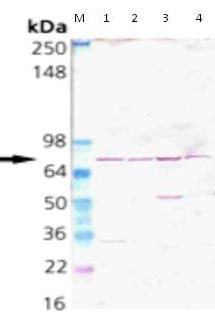 Western blot - Anti-Grp75 antibody (ab115753)