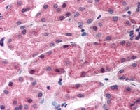 Immunohistochemistry (Formalin/PFA-fixed paraffin-embedded sections) - Anti-Renin antibody (ab115767)