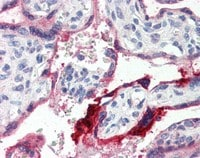 Immunohistochemistry (Formalin/PFA-fixed paraffin-embedded sections) - Anti-Annexin A1 antibody (ab115770)