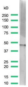 Western blot - Anti-beta Actin antibody [SP124] (ab115777)