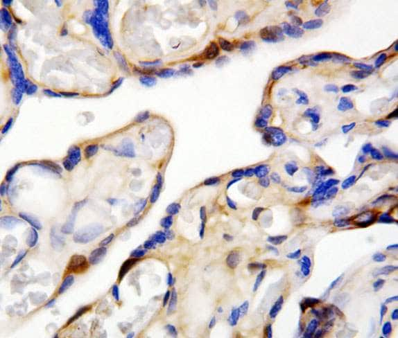 Immunohistochemistry (Formalin/PFA-fixed paraffin-embedded sections) - Anti-DDT antibody (ab115785)