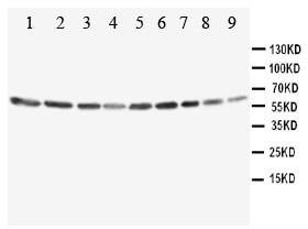 Western blot - Anti-Annexin VI antibody (ab115811)