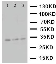 Western blot - Anti-Caspase-7 antibody (ab115815)