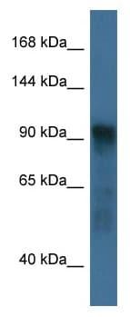 Western blot - Anti-ATG9A antibody (ab115914)