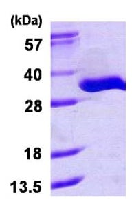 SDS-PAGE - TRPT1 protein (ab116176)