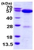 SDS-PAGE - APPBP1 protein (ab116199)