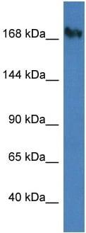 Western blot - Anti-Nup153 antibody (ab116343)