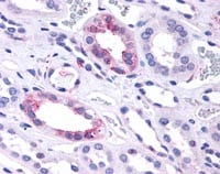 Immunohistochemistry (Formalin/PFA-fixed paraffin-embedded sections) - Anti-GPCR GPR146 antibody (ab116585)