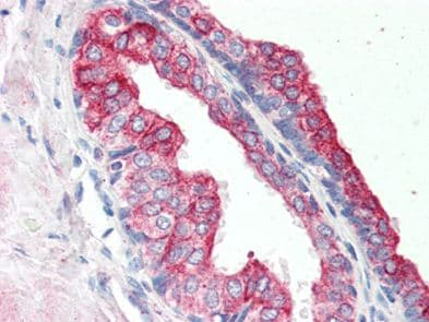 Immunohistochemistry (Formalin/PFA-fixed paraffin-embedded sections) - Anti-RNF34 antibody (ab117084)