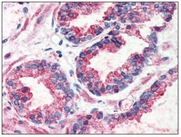 Immunohistochemistry (Formalin/PFA-fixed paraffin-embedded sections) - Anti-GPCR GPR126 antibody (ab117092)