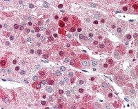 Immunohistochemistry (Formalin/PFA-fixed paraffin-embedded sections) - Anti-HEC1 antibody (ab117415)