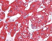 Immunohistochemistry (Formalin/PFA-fixed paraffin-embedded sections) - Anti-Activin Receptor Type IA antibody (ab117422)