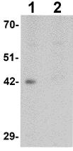 Western blot - Anti-DPAGT1 antibody (ab117459)