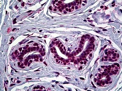 Immunohistochemistry (Formalin/PFA-fixed paraffin-embedded sections) - Anti-FOXA2 antibody [1C7] (ab117542)
