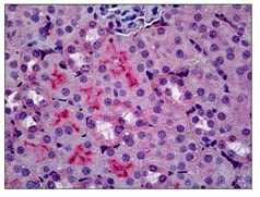 Immunohistochemistry (Formalin/PFA-fixed paraffin-embedded sections) - Anti-C5R1 antibody [10/92] (ab117579)
