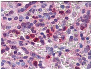 Immunohistochemistry (Formalin/PFA-fixed paraffin-embedded sections) - Anti-SCRN2 antibody (ab117731)
