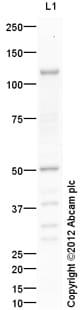 Western blot - Anti-Thrombin Receptor antibody (ab117749)